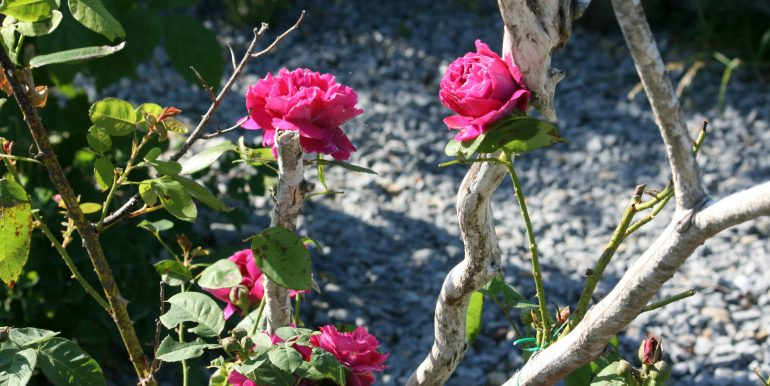 dark red roses near branches GG